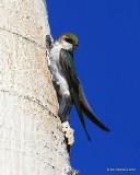 Violet-green Swallow, Rocky Mt NP,  6_16_2016_Jpa_19854.jpg