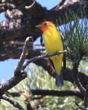 Western Tanager male, Rocky Mt NP,  6_16_2016_Jpa_20050.jpg