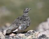 White-tailed Ptarmigan female, Rocky Mt NP, CO, 6_15_16_Jpa_19445.jpg