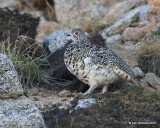 White-tailed Ptarmigan female, Rocky Mt. NP, CO, 6_14_2016_Jpa_18633.jpg