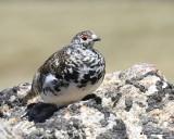 White-tailed Ptarmigan male, Rocky Mt NP, CO, 6_15_16_Jpa_19421.jpg
