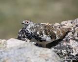 White-tailed Ptarmigan male, Rocky Mt NP, CO, 6_15_16_Jpa_19434.jpg