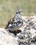 White-tailed Ptarmigan male, Rocky Mt NP, CO, 6_15_16_Jpa_19452.jpg
