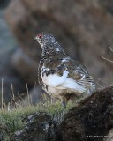 White-tailed Ptarmigan male, Rocky Mt. NP, CO, 6_14_2016_Jpa_18640.jpg
