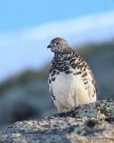 White-tailed Ptarmigan male, Rocky Mt. NP, CO, 6_14_2016_Jpa_18649.jpg