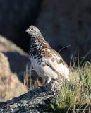 White-tailed Ptarmigan male, Rocky Mt. NP, CO, 6_14_2016_Jpa_18667.jpg