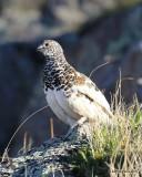 White-tailed Ptarmigan male, Rocky Mt. NP, CO, 6_14_2016_Jpa_18673.jpg