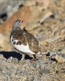 White-tailed Ptarmigan male, Rocky Mt. NP, CO, 6_14_2016_Jpa_18688.jpg