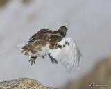 White-tailed Ptarmigan male, Rocky Mt. NP, CO, 6_14_2016_Jpa_18718.jpg