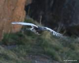 White-tailed Ptarmigan male, Rocky Mt. NP, CO, 6_14_2016_Jpa_18722.jpg