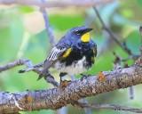 Yellow-rumped Warbler, Audubon subspecies male, N. Delores CO, 6_20_2016_Jpa_21211.jpg