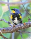 Yellow-rumped Warbler, Audubon subspecies male, N. Delores CO, 6_20_2016_Jpa_21215.jpg