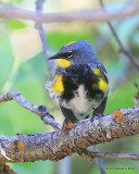 Yellow-rumped Warbler, Audubon subspecies male, N. Delores CO, 6_20_2016_Jpa_21219.jpg