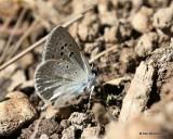 Boisduval's Blue, Plebejus icarioides, W. of Gunnison, CO, 6_18_2016_Jpa_20905.jpg