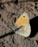 Common Ringlet, Coenonympha tullia, Rocky Mt. NP, CO, 6_15_2016_Jpa_19319.jpg