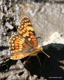 Northern Checkerspot, Chlosyne palla, W. of Gunnison, CO, 6_18_2016_Jpa_20864.jpg
