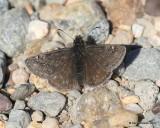 Persius Duskywing, Erynnis persius, female, Rocky Mt NP,  6_16_2016_Jpa_19992.jpg