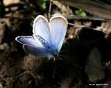 Rocky Mountain Dotted-Blue, Euphilotes ancilla, W. of Gunnison, CO, 6_18_2016_Jpa_20889.jpg