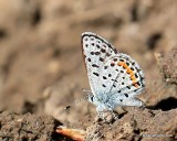 Rocky Mountain Dotted-Blue, Euphilotes ancilla, W. of Gunnison, CO, 6_18_2016_Jpa_20902.jpg