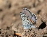Rocky Mountain Dotted-Blue, Euphilotes ancilla, W. of Gunnison, CO, 6_18_2016_Jpa_20903.jpg