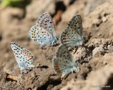 Rocky Mountain Dotted-Blue, Euphilotes ancilla, W. of Gunnison, CO, 6_18_2016_Jpa_20910.jpg