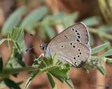 Silvery Blue, Glaucopsyche lygdamus, Rocky Mt. NP, CO, 6_15_2016_Jpa_19344.jpg