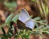 Silvery Blue, Glaucopsyche lygdamus, Rocky Mt. NP, CO, 6_15_2016_Jpa_19345.jpg