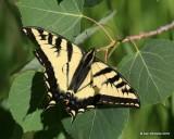 Western Tiger Swallowtail, Papilio rutulus, N. Delores CO, 6_20_2016_Jpa_21243.jpg