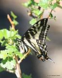 Western Tiger Swallowtail, Papilio rutulus, Rocky Mt NP,  6_16_2016_Jpa_20053.jpg