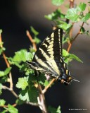 Western Tiger Swallowtail, Papilio rutulus, Rocky Mt NP,  6_16_2016_Jpa_20057.jpg