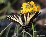 Western Tiger Swallowtail, Papilio rutulus, Rocky Mt. NP, CO, 6_15_2016_Jpa_19692.jpg