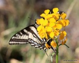 Western Tiger Swallowtail, Papilio rutulus, Rocky Mt. NP, CO, 6_15_2016_Jpa_19697.jpg