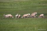 Rocky Mountain Big Horn Sheep ewes & yearlings, Rocky Mt NP, CO, 6_17_16_Jpa_20472.jpg