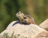Golden-mantled Ground Squirrel,  Mt Evans, CO, 06_12_2016_Jpa_18060.jpg