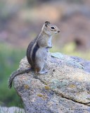 Golden-mantled Ground Squirrel, Rocky Mt NP, CO, 6_15_16_Jpa_19709.jpg