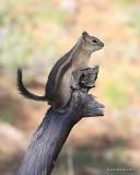 Golden-mantled Ground Squirrel, Rocky Mt NP, CO, 6_15_16_Jpa_19712.jpg