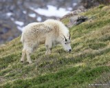 Mountain Goat,  Mt Evans, CO, 06_12_2016_Jpa_18027.jpg