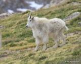 Mountain Goat,  Mt Evans, CO, 06_12_2016_Jpa_18035.jpg