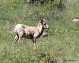 Rocky Mountain Big Horn Sheep, Rocky Mt NP, CO, 6_15_16_Jpa_19571.jpg