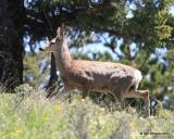 Mule Deer young buck, Rocky Mt NP,  6_16_2016_Jpa_20108.jpg