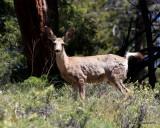 Mule Deer young buck, Rocky Mt NP,  6_16_2016_Jpa_20113.jpg