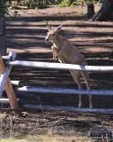 Mule Deer doe, Mt Evans, CO, 6-13-16, Jpa_18343.jpg