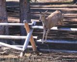 Mule Deer doe, Mt Evans, CO, 6-13-16, Jpa_18344.jpg