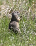 Richardson's Ground Squirrel, Florissant Fossil Beds, CO, 06_11_2016_Jpa_17958.jpg