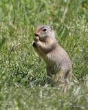 Richardson's Ground Squirrel, Rocky Mt NP, CO, 6_15_16_Jpa_19379.jpg