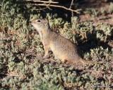 Richardson's Ground Squirrel, W. of Gunnison, CO, 6_18_2016_Jpa_20927.jpg