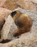 Yellow-bellied Marmot Mt Evans, CO, 06_12_2016_Jpa_18012.jpg
