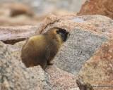 Yellow-bellied marmot Mt Evans, CO, 06_12_2016_Jpa_18005.jpg