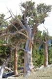 Bristlecone Pine, Mt Evans, CO, 06_12_2016_Jp_18064.JPG
