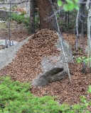 Fir & Pine Cone, pile of pieces, Mt Evans, CO, 6-13-16, Jp_18521.JPG